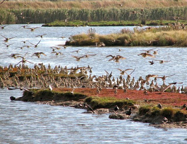Golden Plover re-settling - geograph.org.uk - 1601785