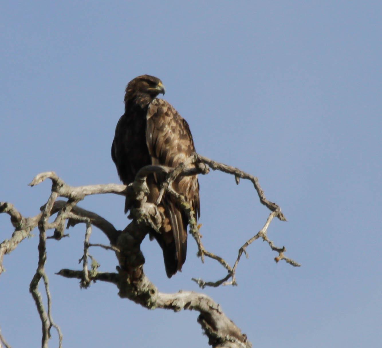 Description golden eagle at rest