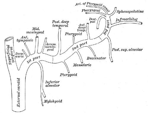 descending palatine artery