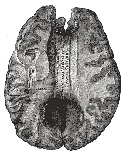 corpus callosum - wikipedia, Cephalic Vein