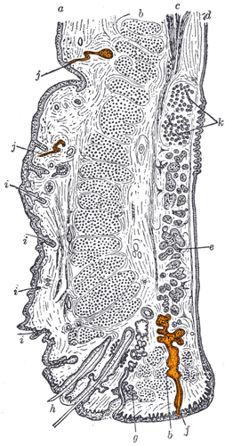 File:Gray893 - sweat glands.png - Wikimedia Commons