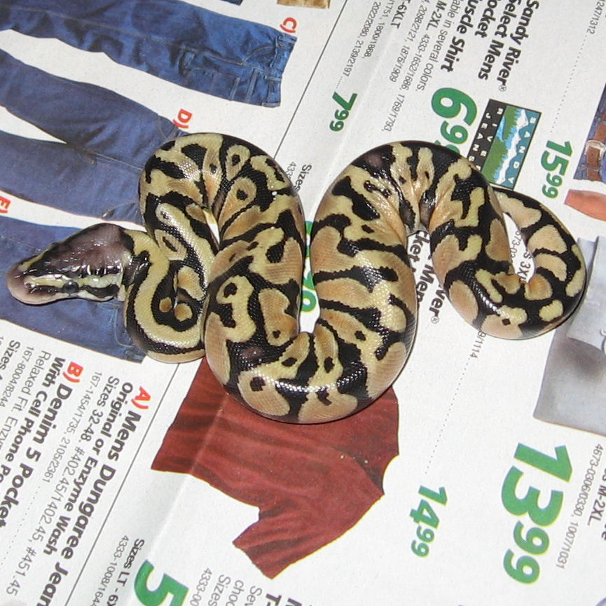 File Hatchling Pastel Ball Python Jpg Wikimedia Commons