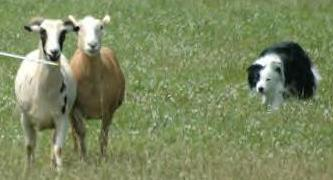 A border collie fetching at a sheep dog trial.