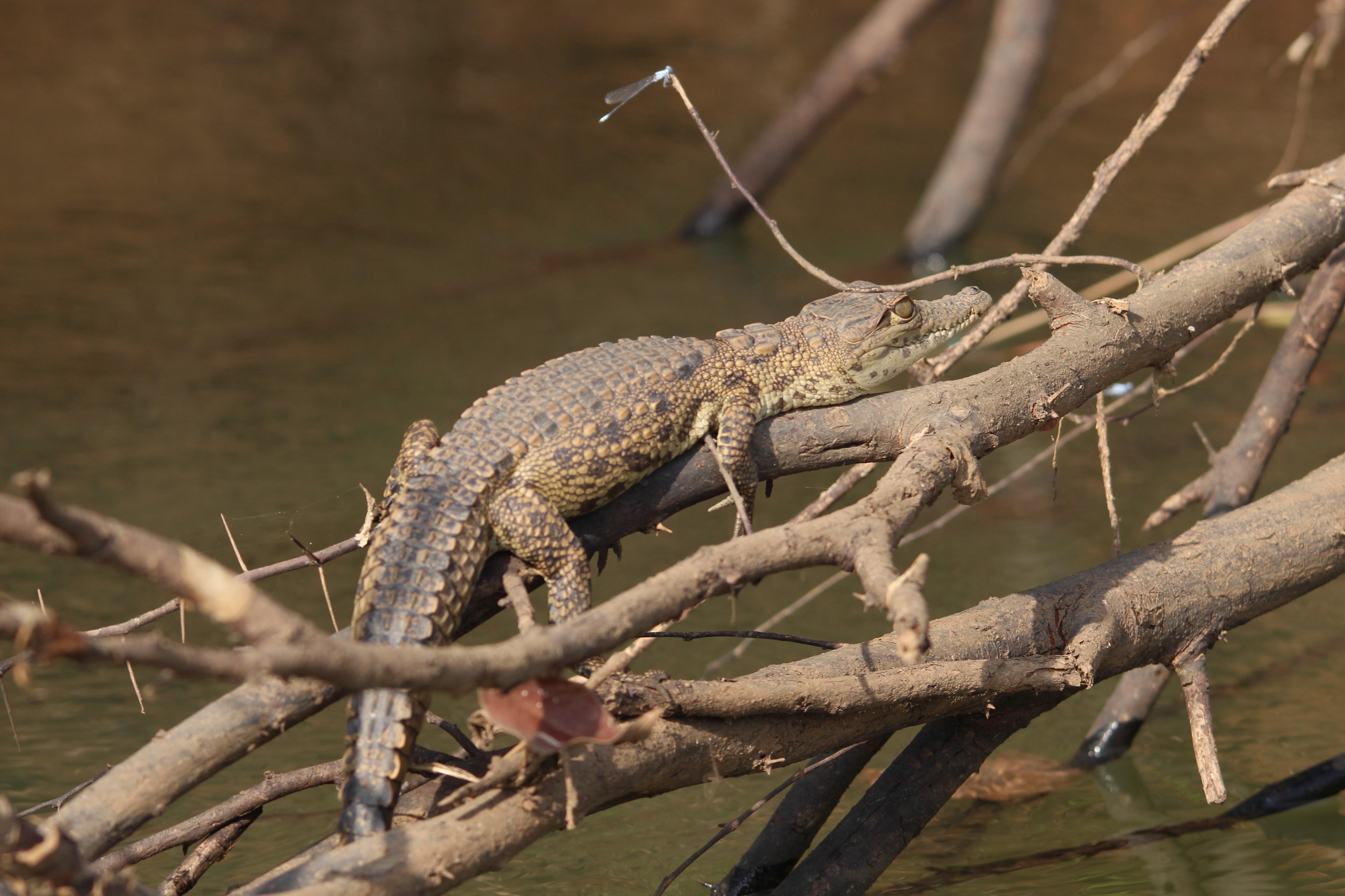 das krokodil aus afrika