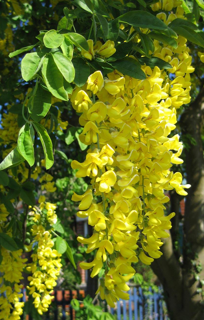 Filelaburnum Anagyroides Hanging Flower Clusterg Wikimedia Commons