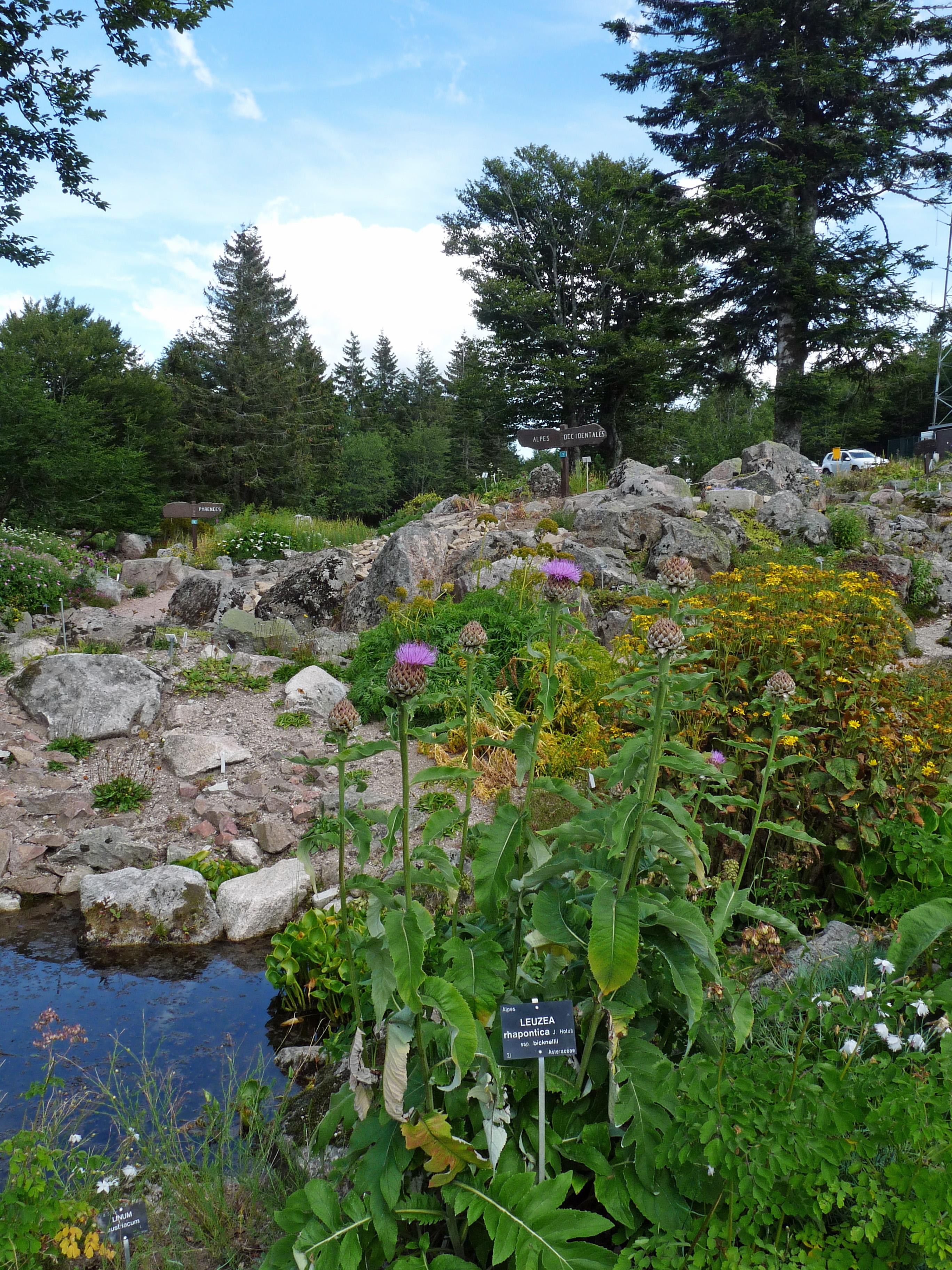 File leuzea rhapontica jardin d 39 altitude du haut chitelet - Jardin d altitude du haut chitelet ...