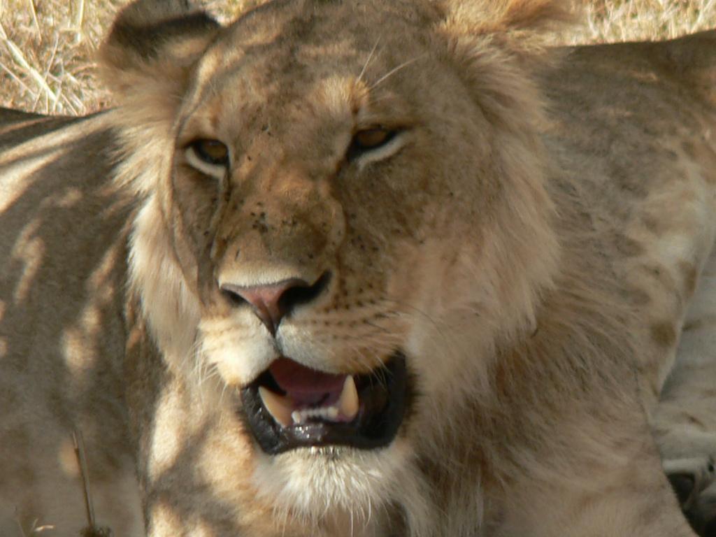 Lionness roaring
