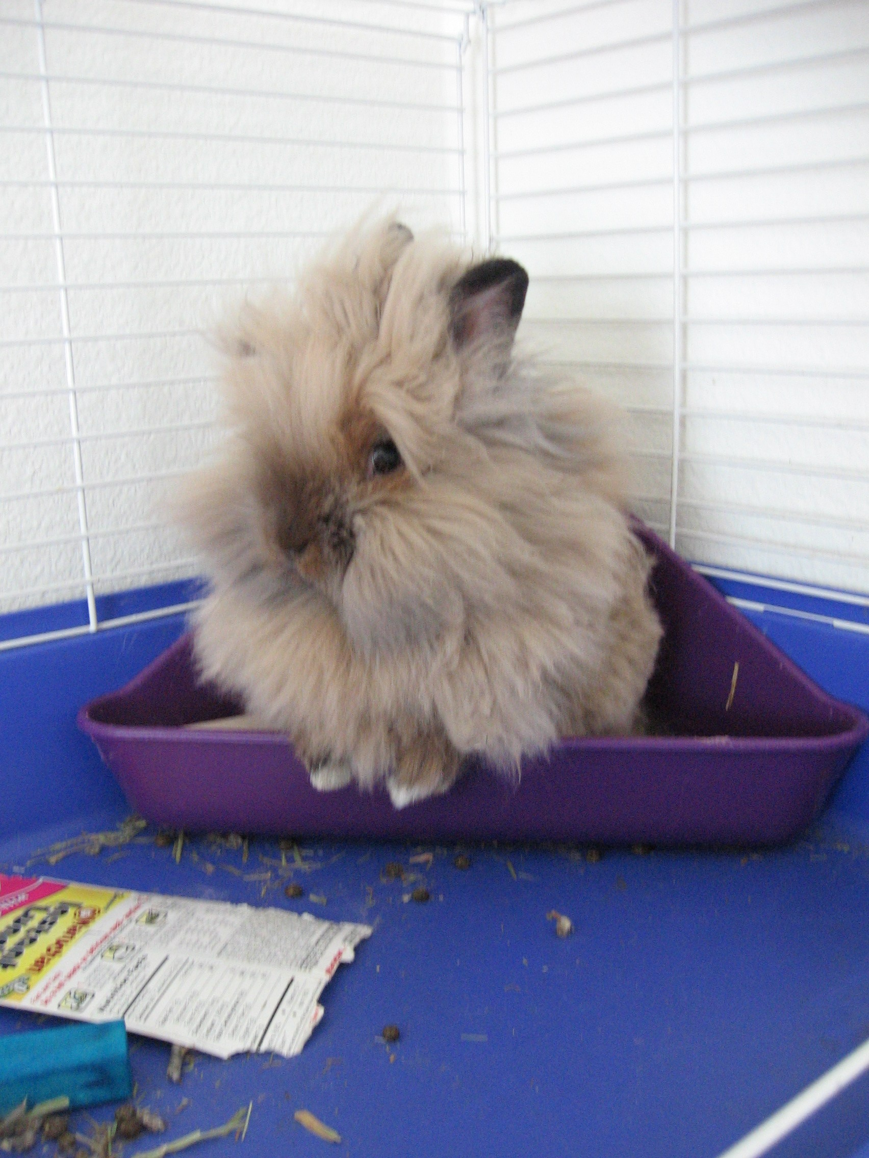 http://upload.wikimedia.org/wikipedia/commons/a/aa/Lionhead_rabbit.jpg