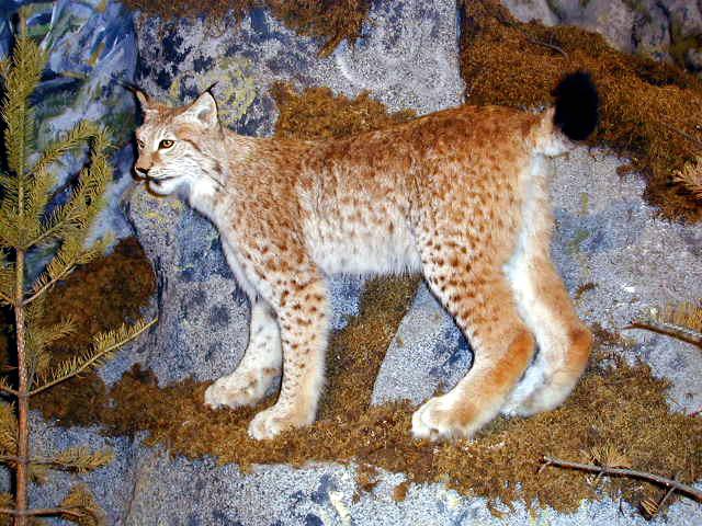 Lynx lynx tb2003.jpg