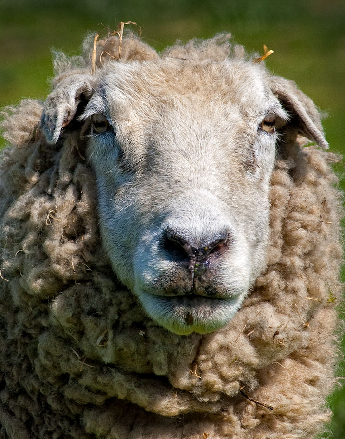 Old sheep face