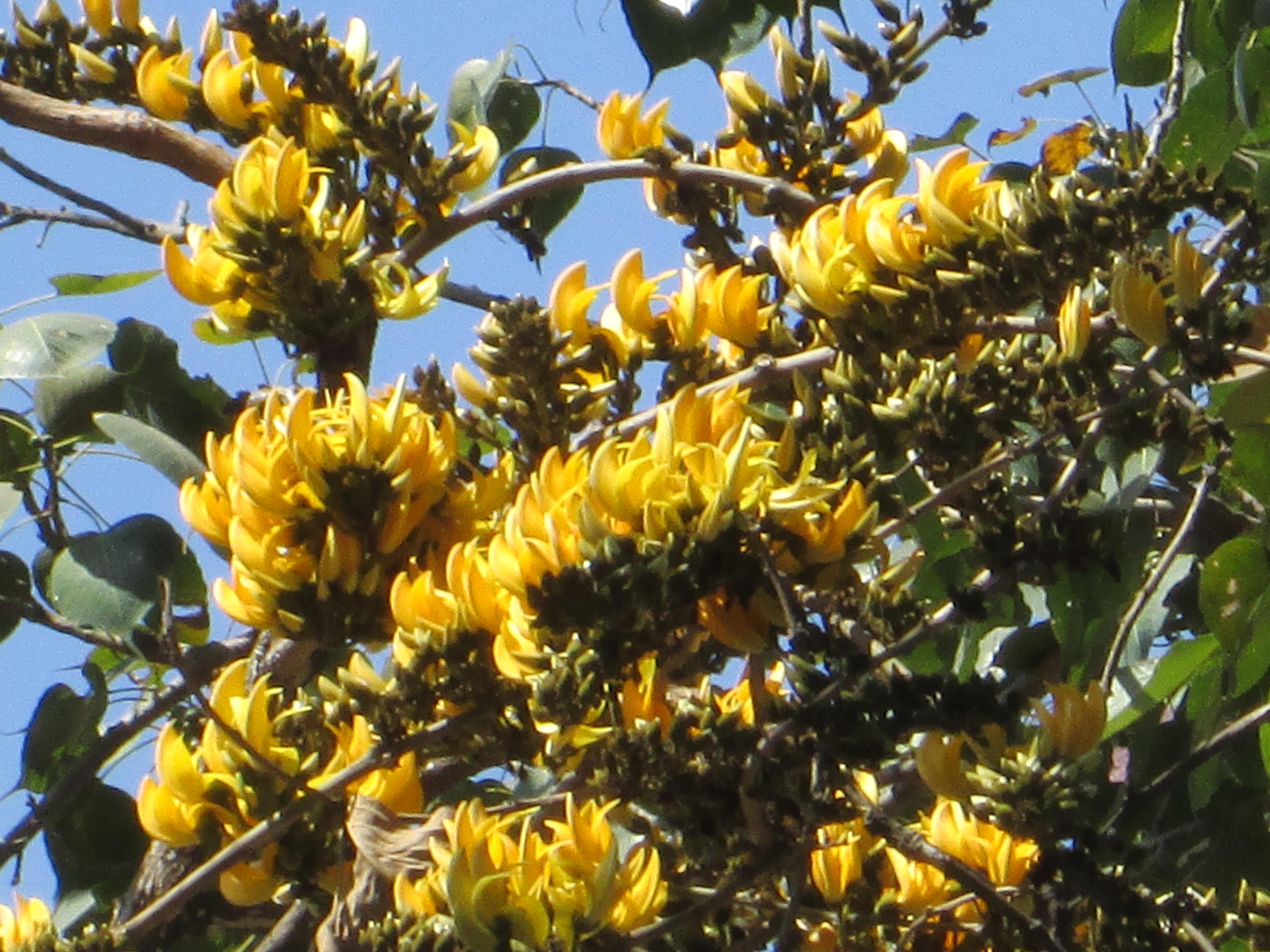 Yellow Palash flowers