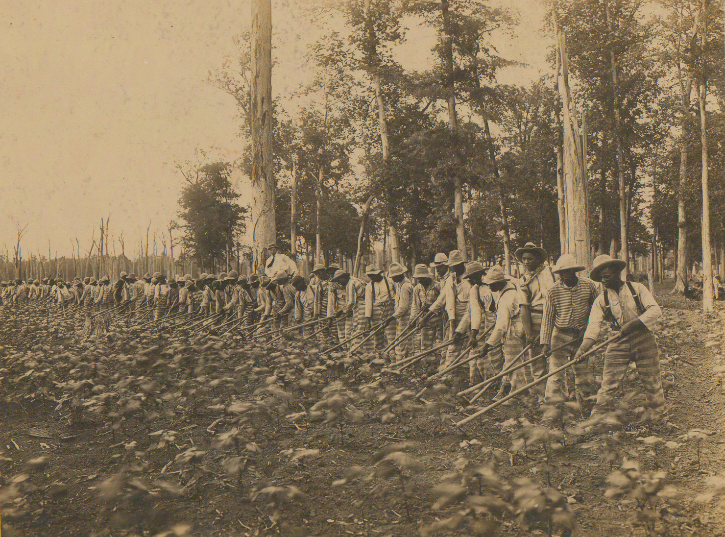 Prisoners farming cotton under the trusty system in Parchman Farm, Mississippi, 1911 - Cotton
