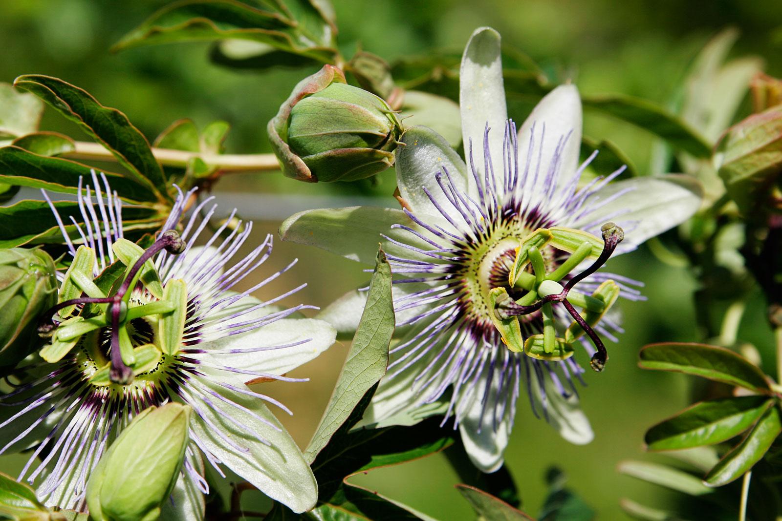 File Passionfruit flower03 Wikimedia mons