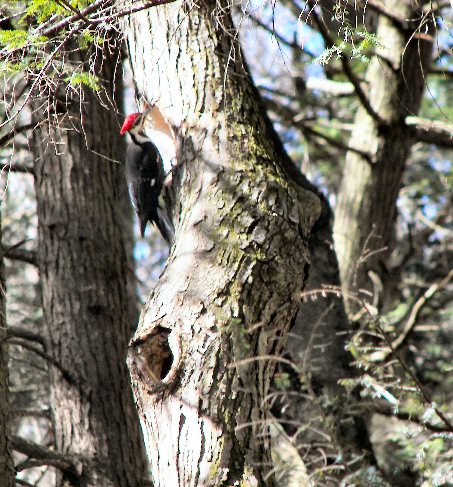 File:Pileated Woodpecker.jpg