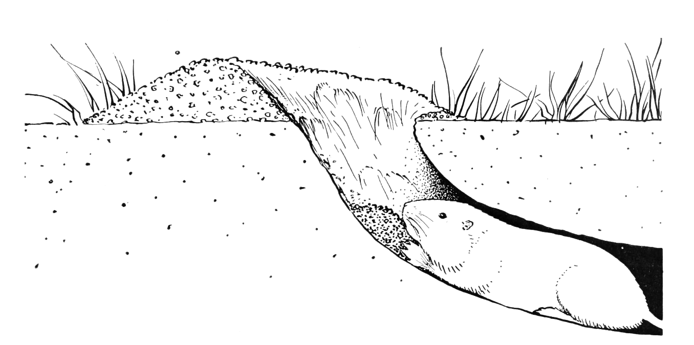 file pocket gopher in burrow bw png