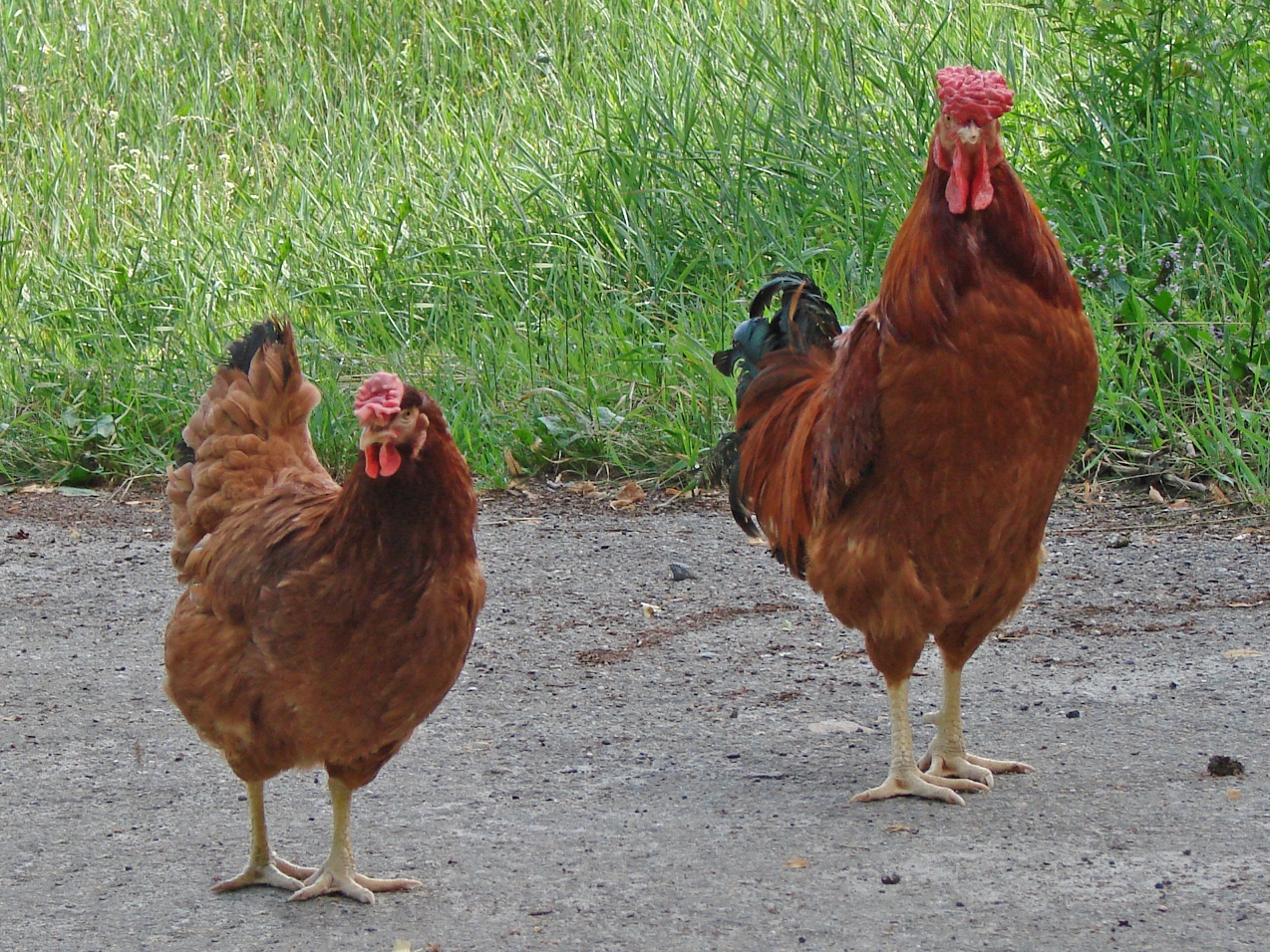 Can A Hen Eat Medicated Food