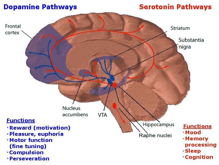 In this drawing of the brain, the serotonergic system is red and the mesolimbic dopamine pathway is blue. There is one collection of serotonergic neurons in the upper brainstem that sends axons upwards to the whole cerebrum, and one collection next to the cerebellum that sends axons downward to the spinal cord. Slightly forward the upper serotonergic neurons is the ventral tegmental area (VTA), which contains dopaminergic neurons. These neurons' axons then connect to the nucleus accumbens, hippocampus and the frontal cortex. Over the VTA is another collection of dopaminergic cells, the substansia nigra, which send axons to the striatum.
