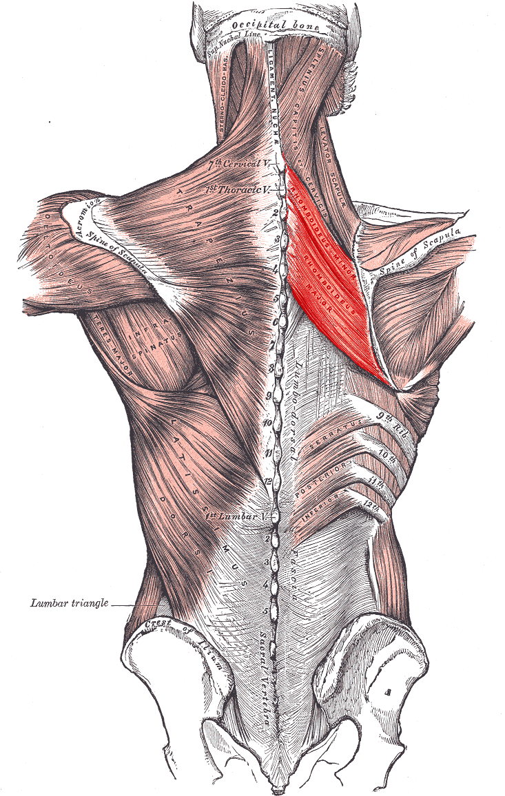 Biomechanics 1 Levels And Planes Axes additionally The Language Of Movement1 together with Clients Shoulder Health Winged Scapula together with C9A9B7C1B6DA moreover 86583. on planes of motion a and joint actions 2