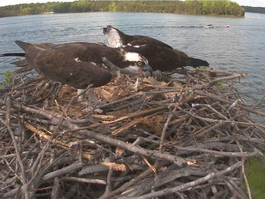 SM Osprey nest 2015-05-09 Renovations to the nest (17522972073).jpg VSP SM Osprey nest at Smith Mountain Lake State Park, Virginia, USA.