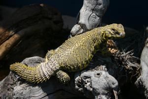 U S Lizard Uromastyx geyri - Wiki...