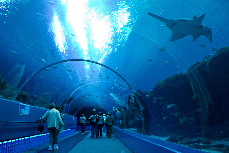 File Sawfish Atlanta Aquarium Jpg Wikimedia Commons