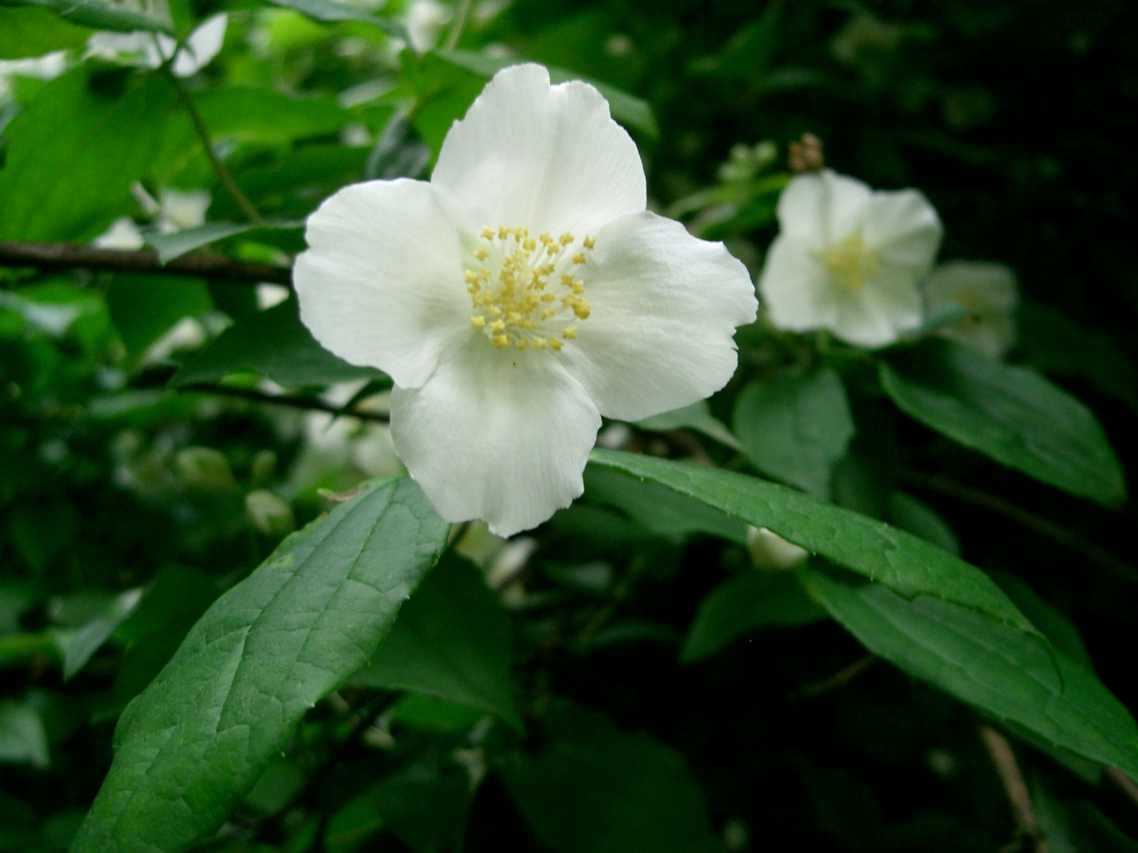 File seringa t fleur jpg wikimedia commons - Arbuste petites fleurs blanches ...