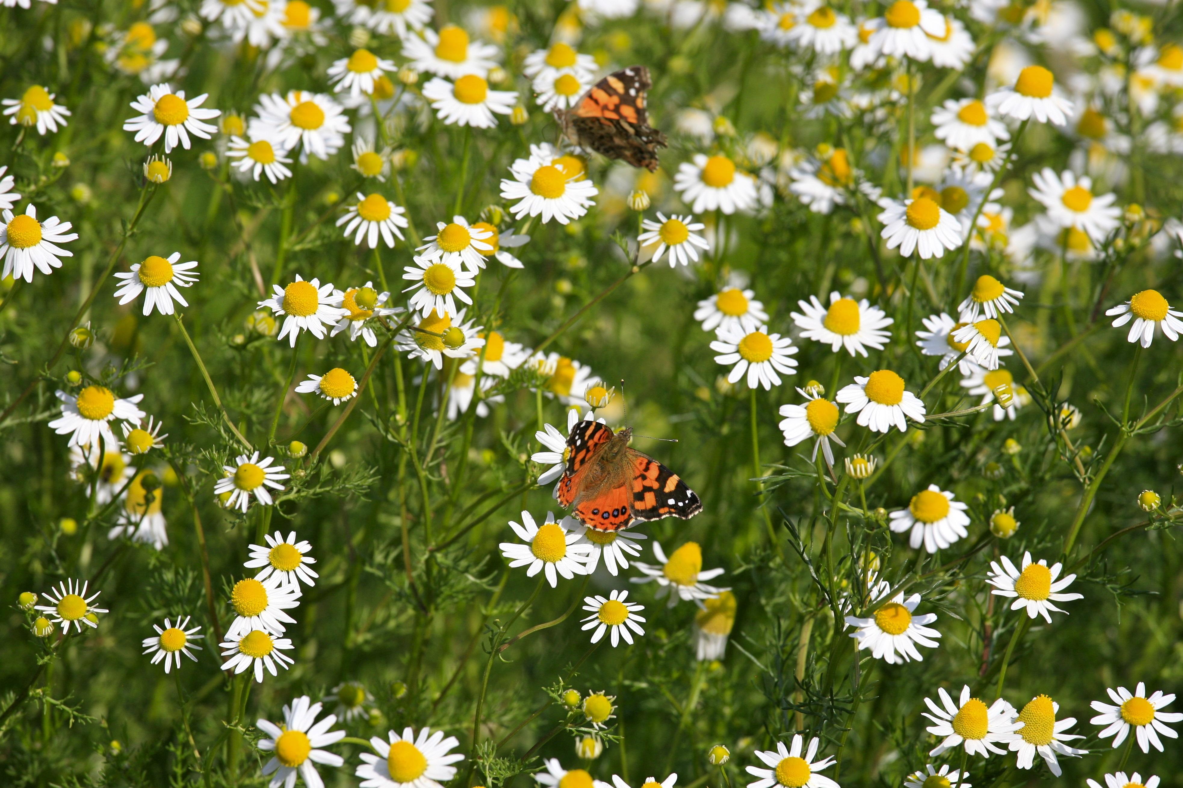 Картинка поле с ромашками и бабочками, открытки своими руками