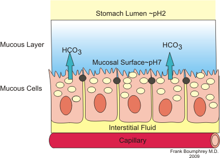 Stomach Mucous as well Figure Abc as well Simple Columnar Labels besides Di in addition Transport. on diagram of a lumen in cell biology