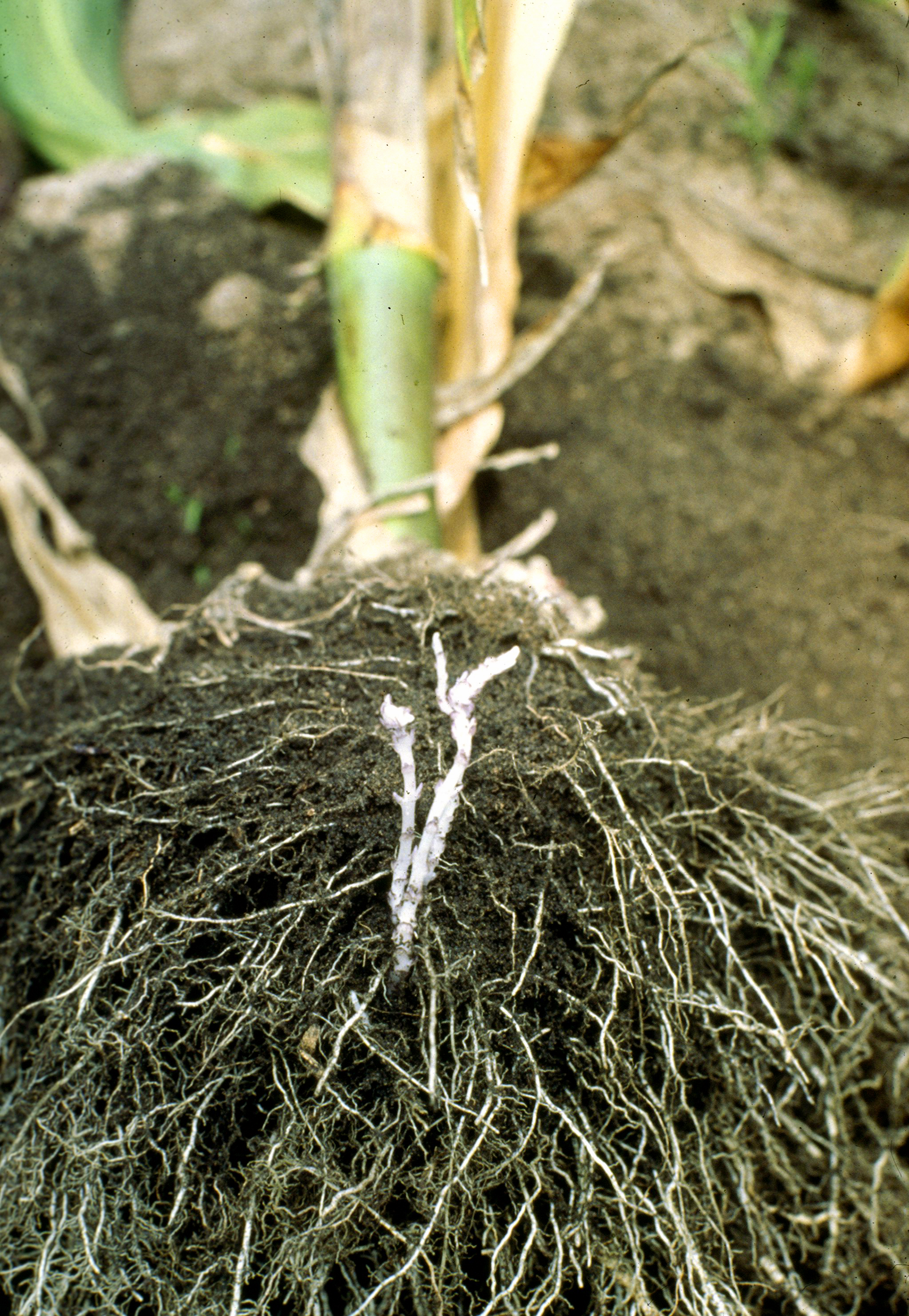 English: Photo of plant roots with striga plan...