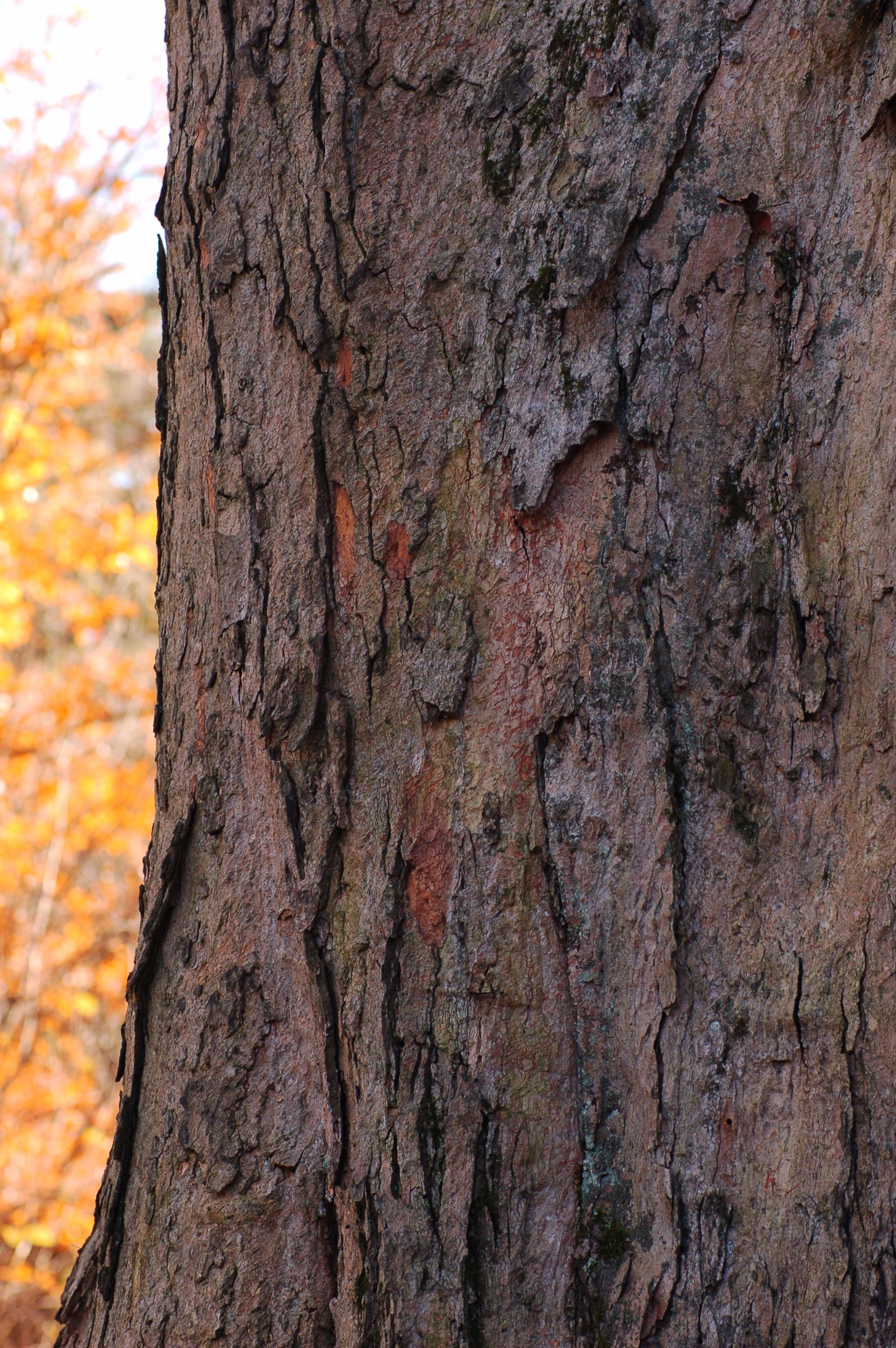 File:Sugar Maple Acer saccharum Bark Vertical 2000px.jpg ...