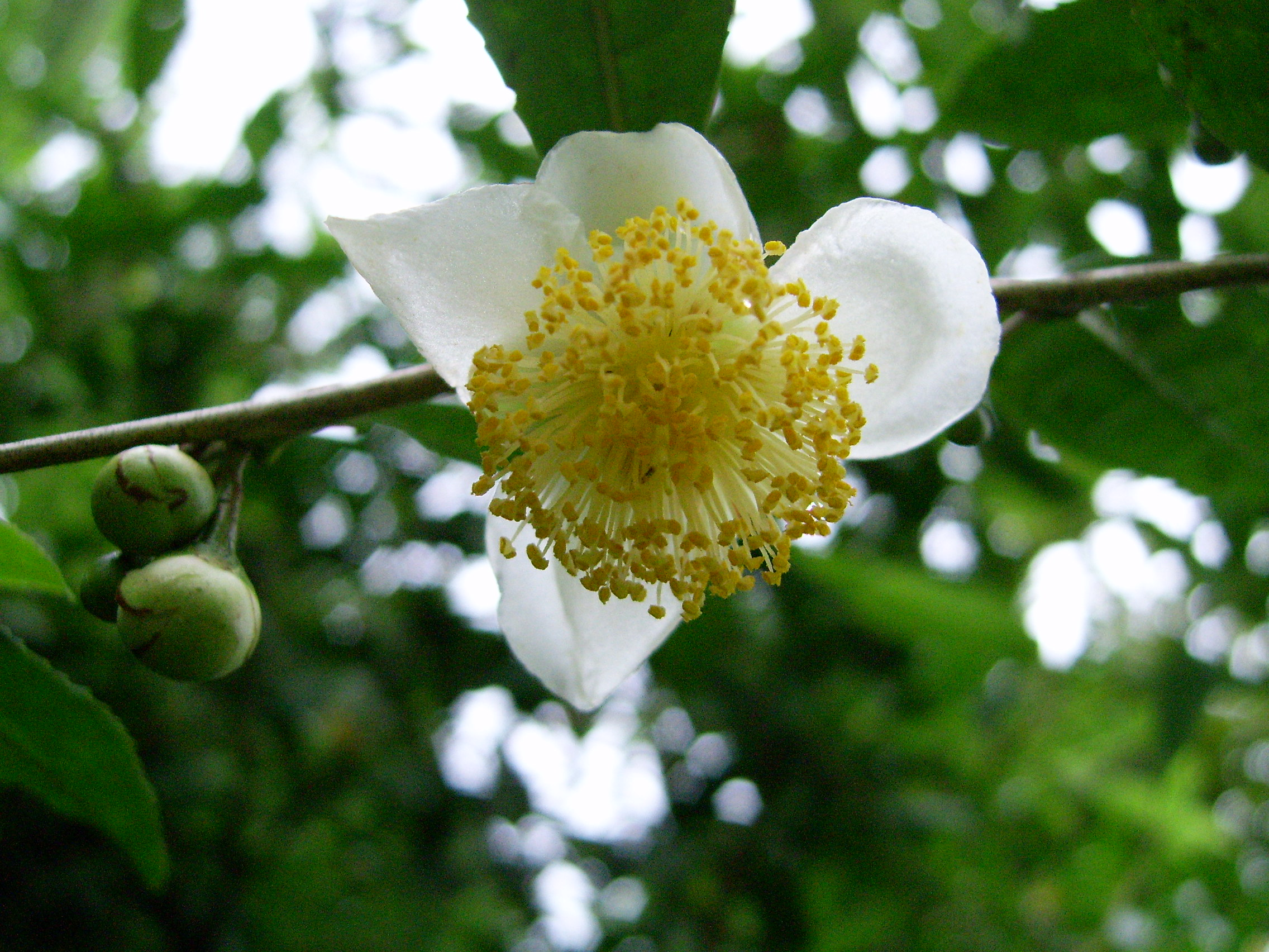 Pichatea Flowerg Wikipedia Kamusi Elezo Huru