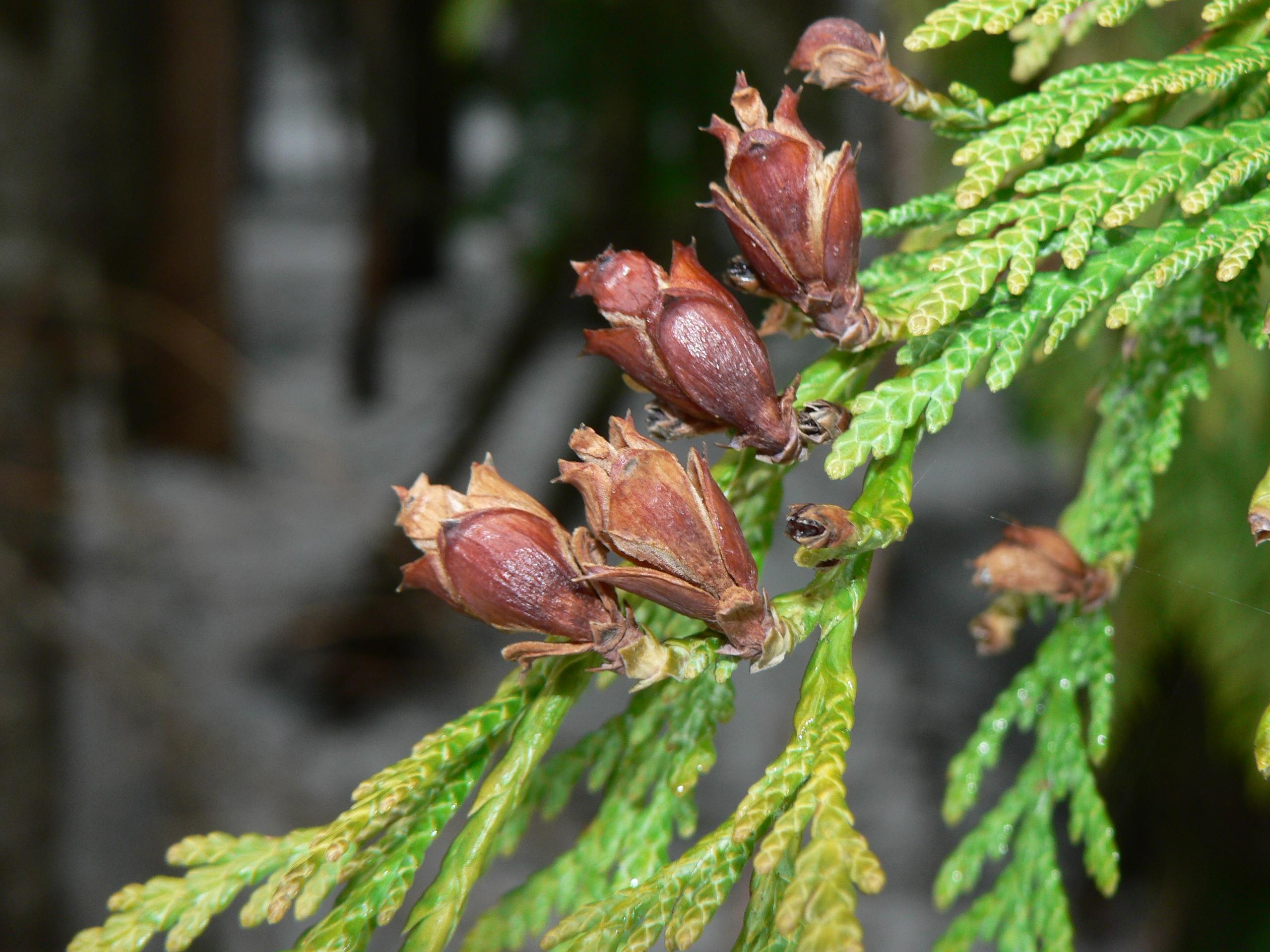 Description Thuja plicata 43569 JPGWestern Red Cedar Cones