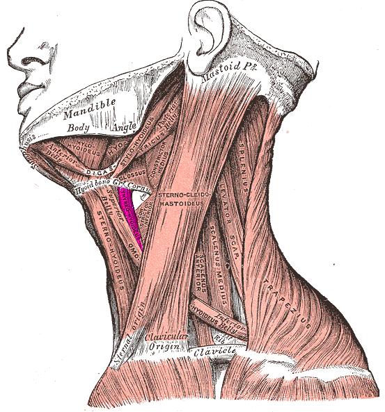 Músculo tirohioideo - Wikiwand
