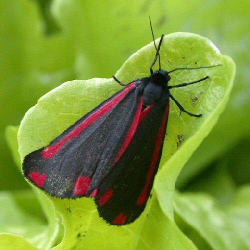 Jakobsvlinder
