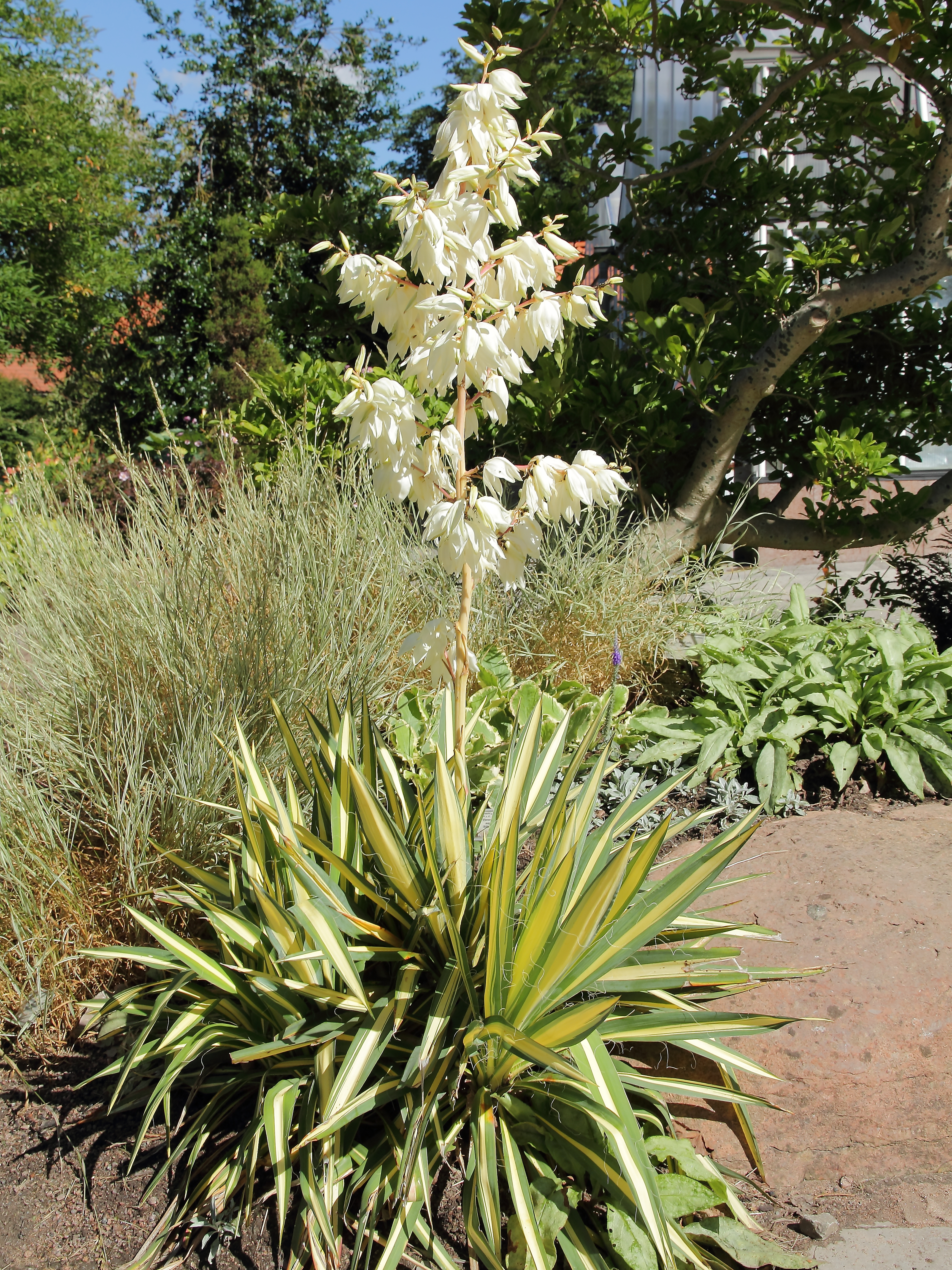 file yucca filamentosa 39 color guard 39 img wikimedia commons. Black Bedroom Furniture Sets. Home Design Ideas