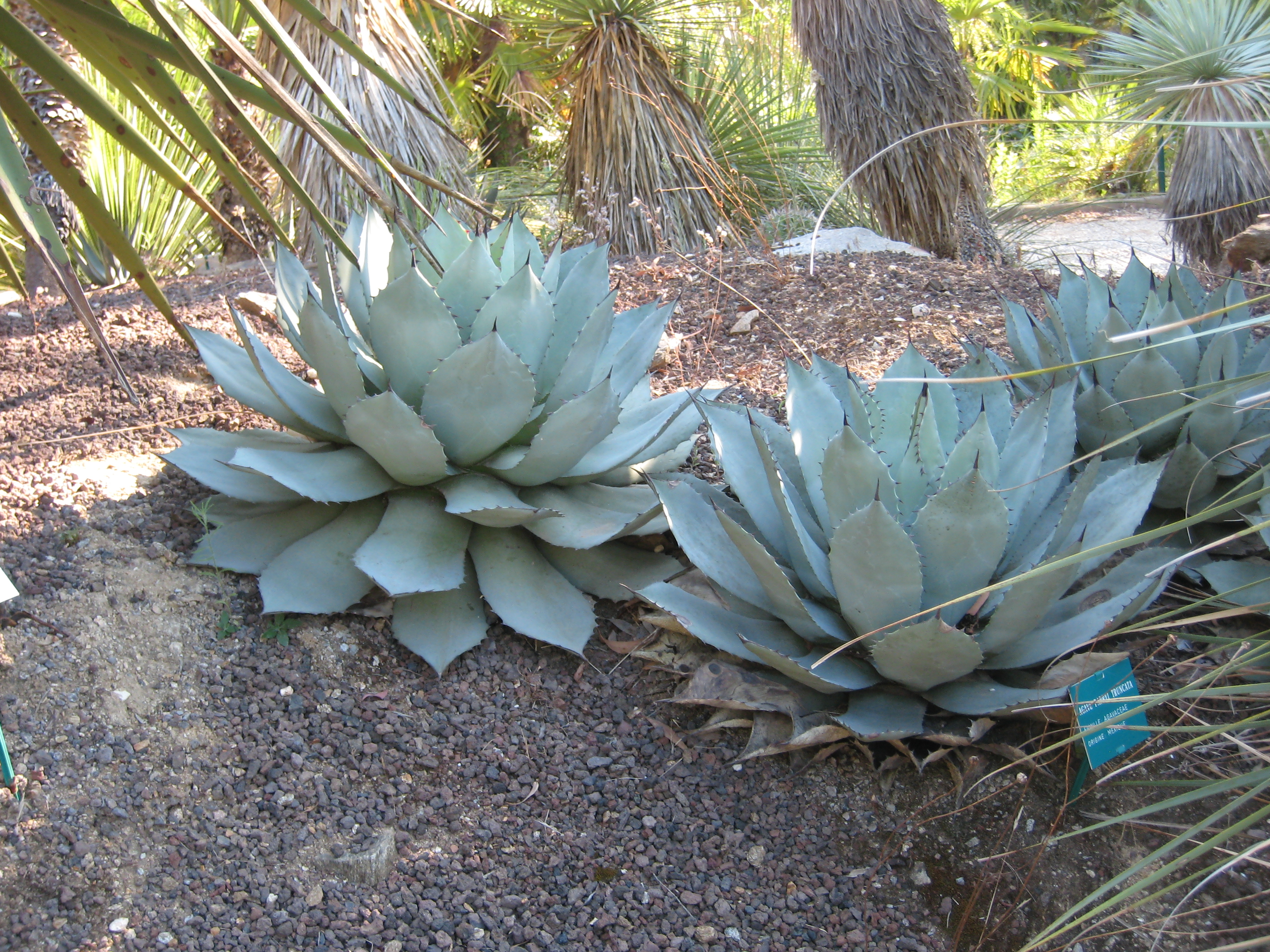 File agave parryi wikimedia commons for Cultivos ornamentales
