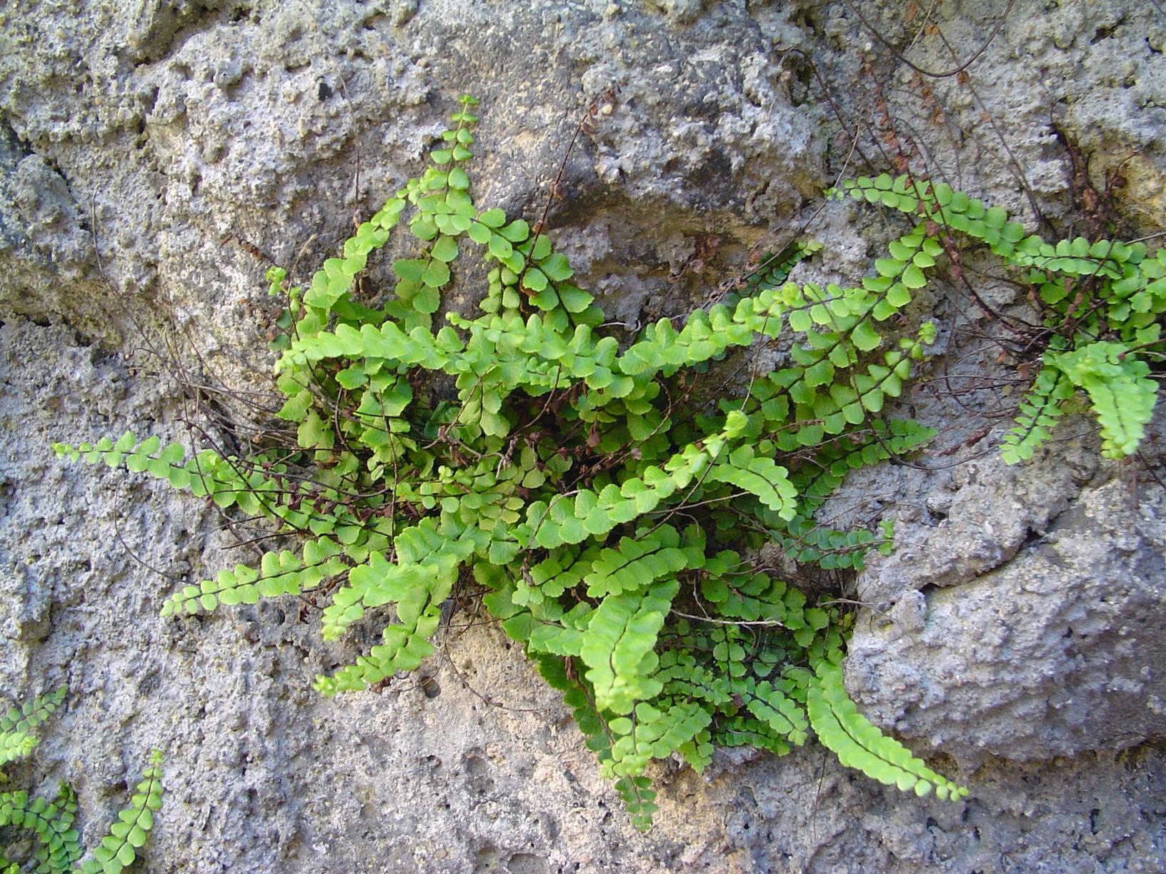 Asplenium Trichomanes Wikipedia File:asplenium Trichomanes