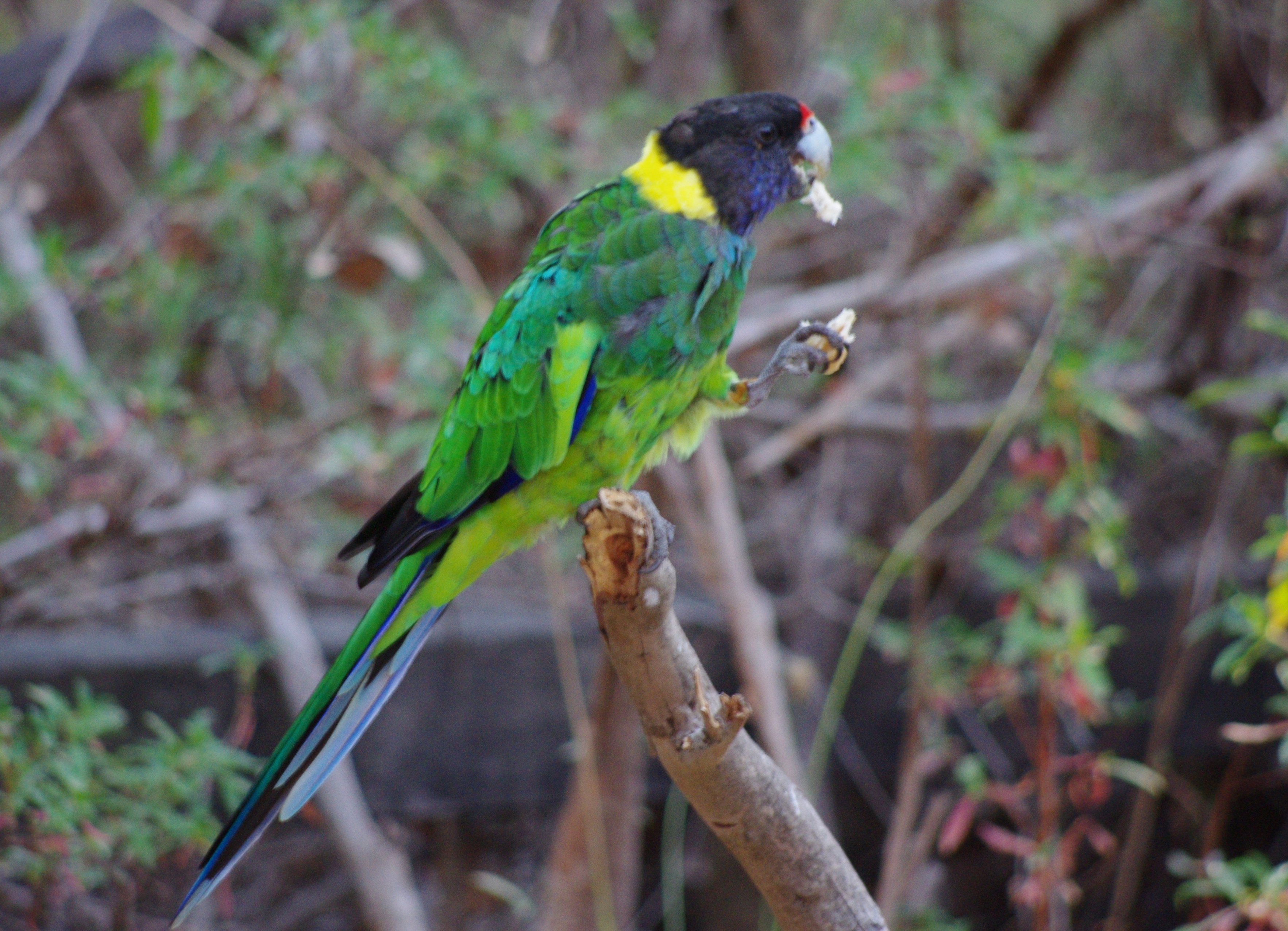 ... zonarius Gloucester National Park, Western Australia, Australia 8