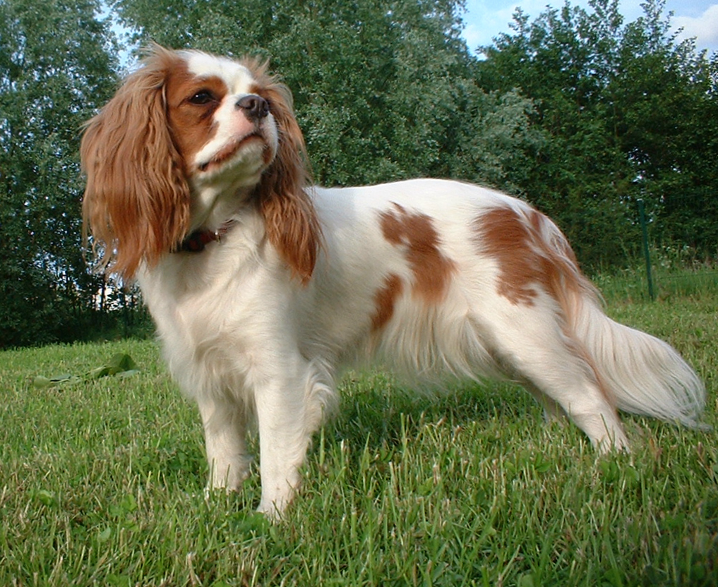 Small Dogs King Charles Spaniel