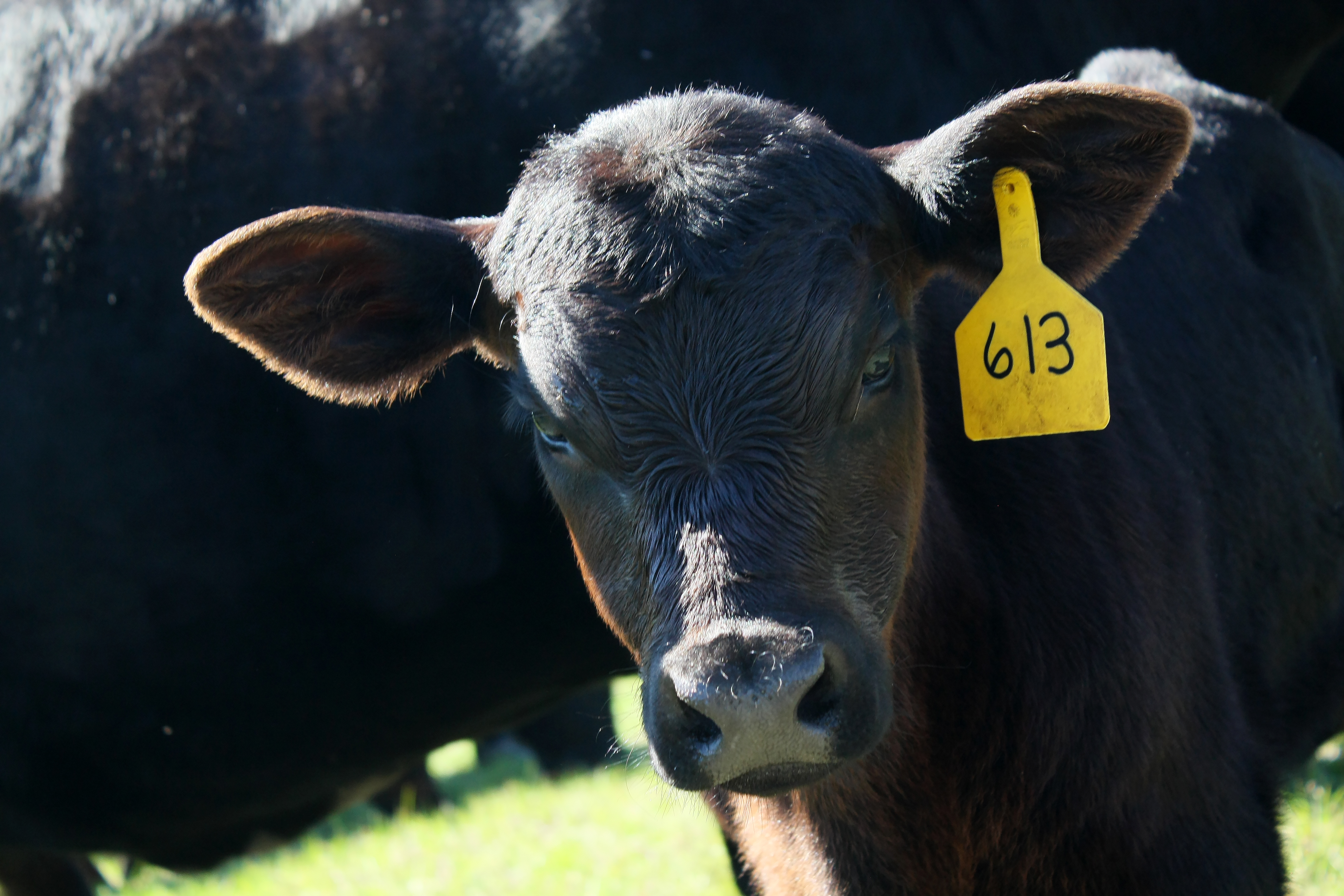 pictures-of-black-angus-calves