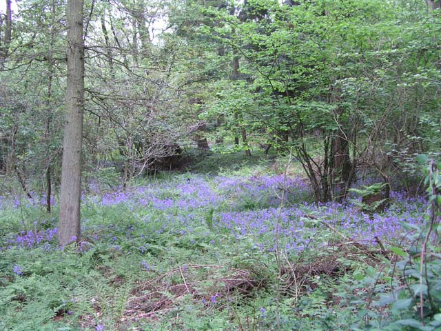 Bluebells in the Millpond Plantation, Warnham Nature Reserve - geograph.org.uk - 388652