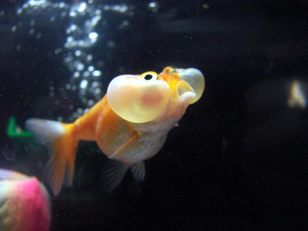 Sera Goldy Makanan Khusus Ikan Mas Koki Waterdecor Splashnews Informasi Seputar Dekorasi Air Mancur Aquarium Kolam Dan Pets