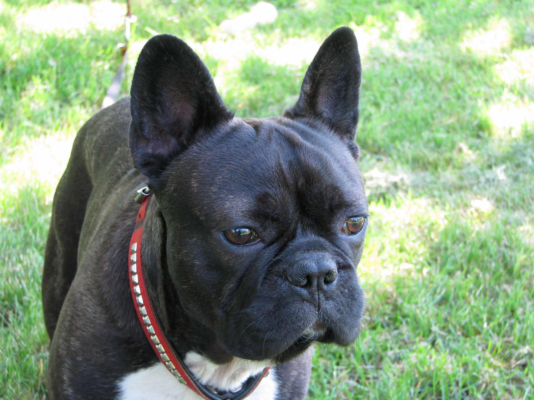 Do French Bull Dog Puppies Have Floppy Ears