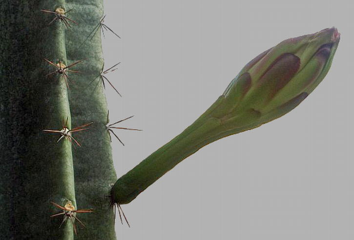 Fotografije kaktusa - Page 9 Cactus_4a_-_geograph.org.uk_-_1446436_cleaned