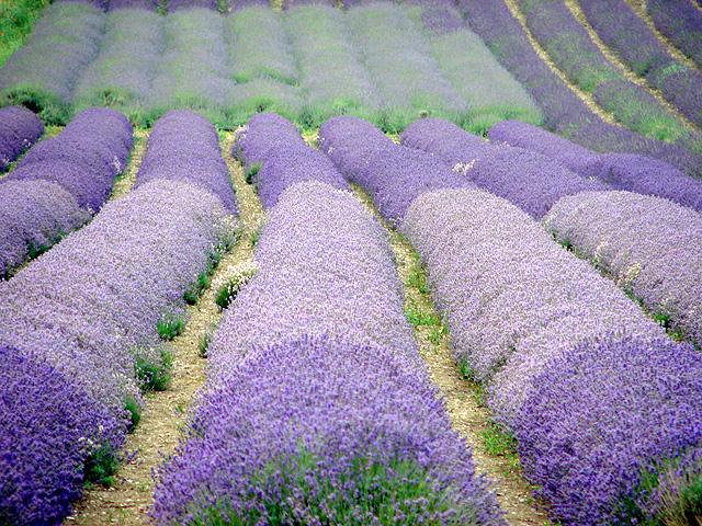 File:Cadwell Farm - Hitchin Lavender - 21 - geograph.org.uk - 890006.jpg
