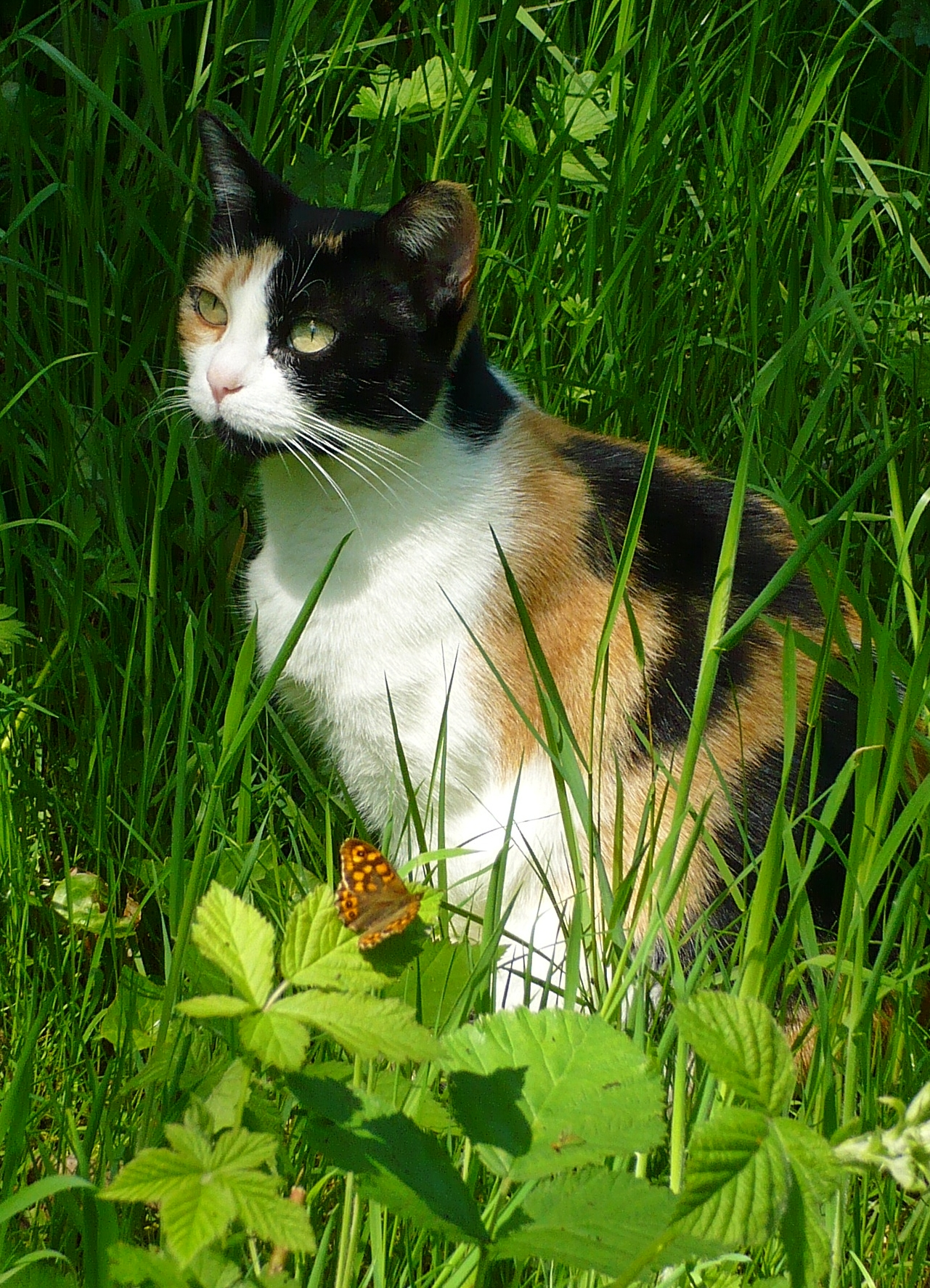 savannah cat for sale price