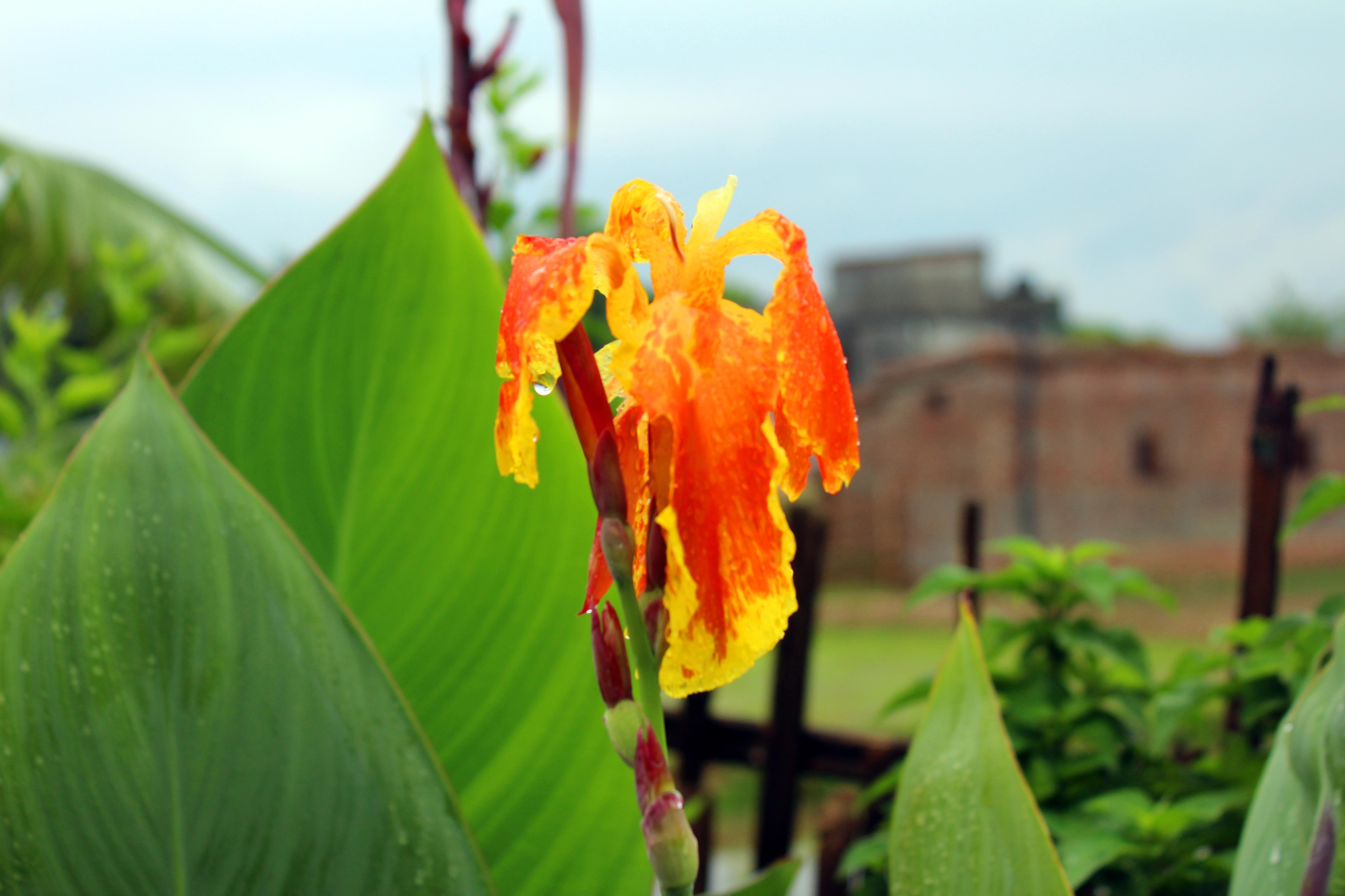 Filecanna Flower Yellow And Orange 01g Wikimedia Commons
