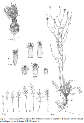 Filecentaurea Giardinaepng Wikimedia Commons