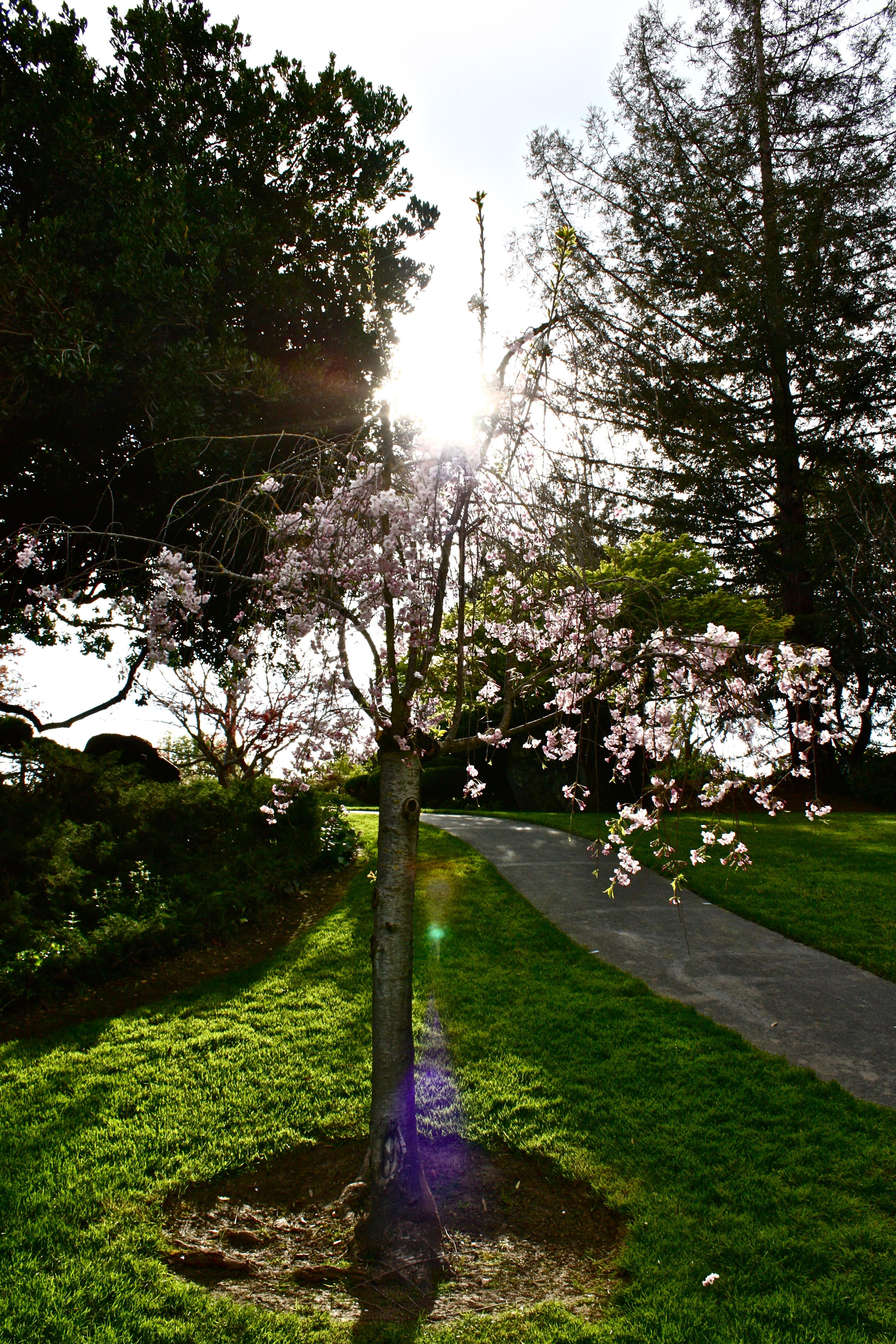 file:cherry blossom at japanese friendship garden in san jose