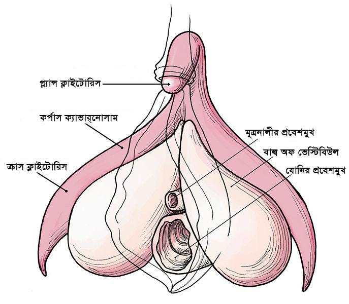 internal view of vulva